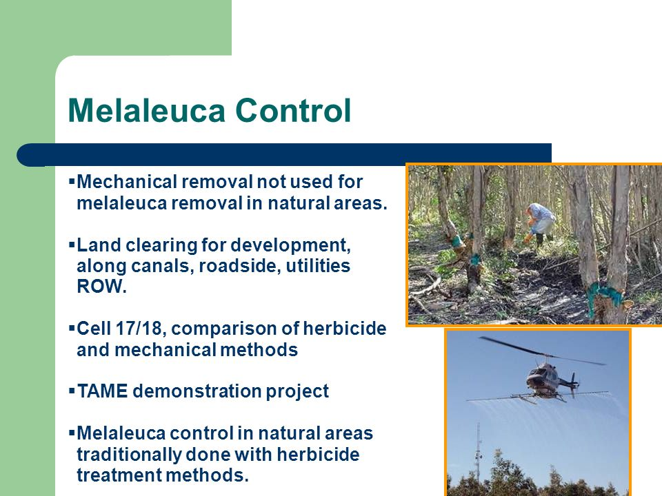 Melaleuca Control Mechanical removal not used for melaleuca removal in natural areas.
