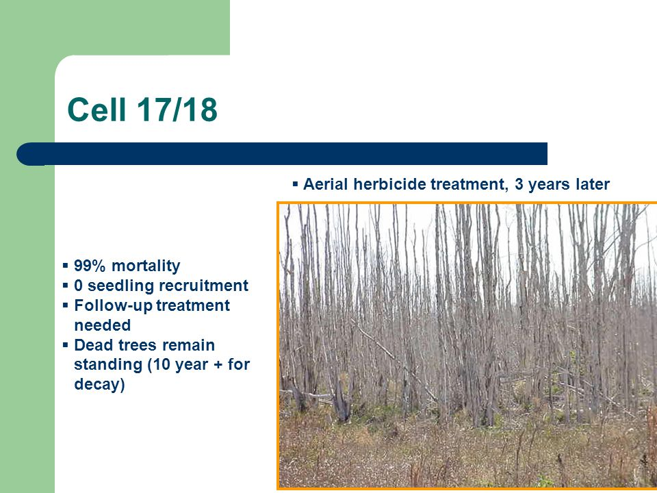 Cell 17/18 Aerial herbicide treatment, 3 years later 99% mortality