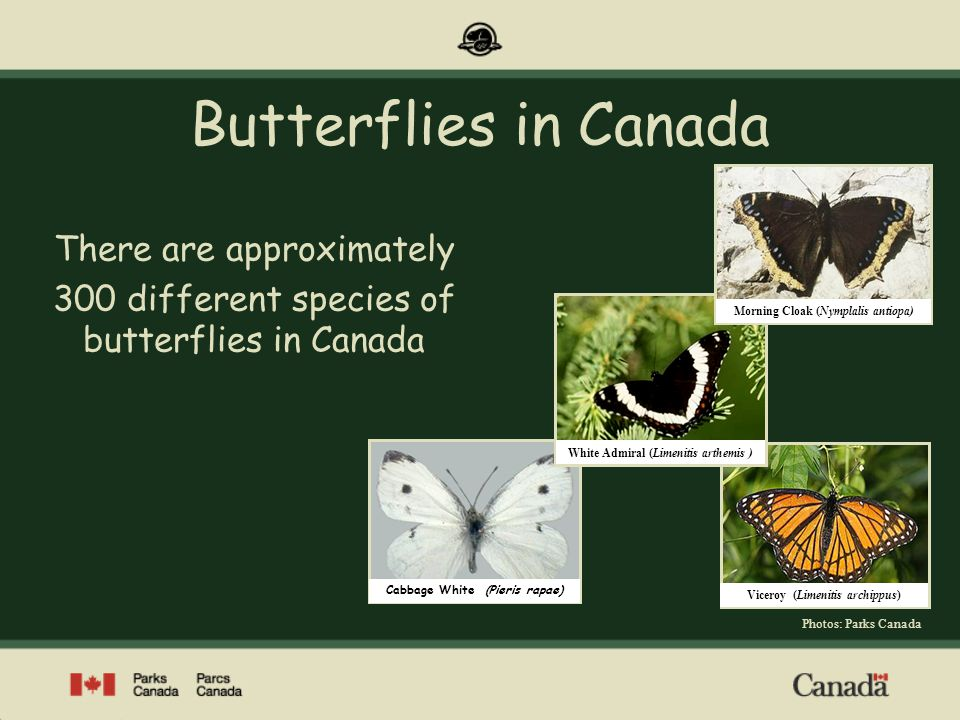 Butterflies in Canada There are approximately