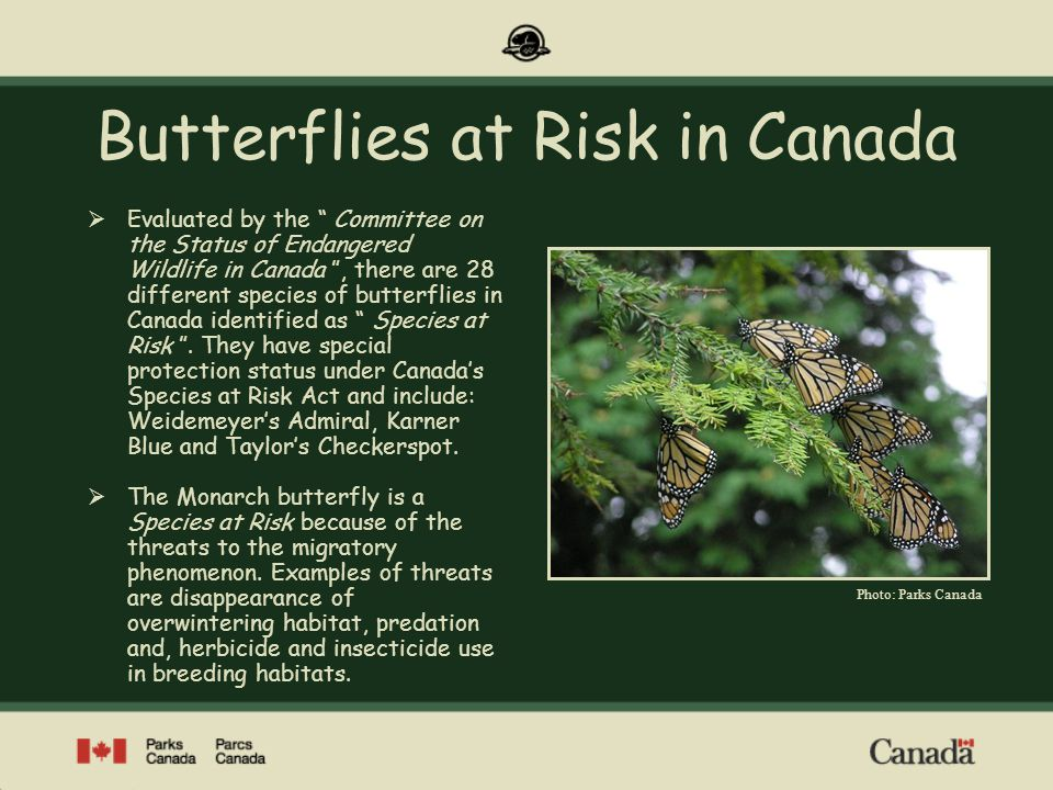 Butterflies at Risk in Canada