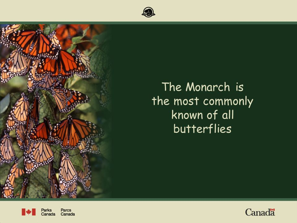The Monarch is the most commonly known of all butterflies