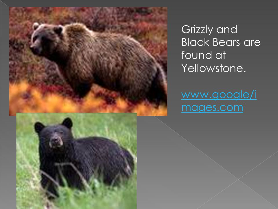 Grizzly and Black Bears are found at Yellowstone.