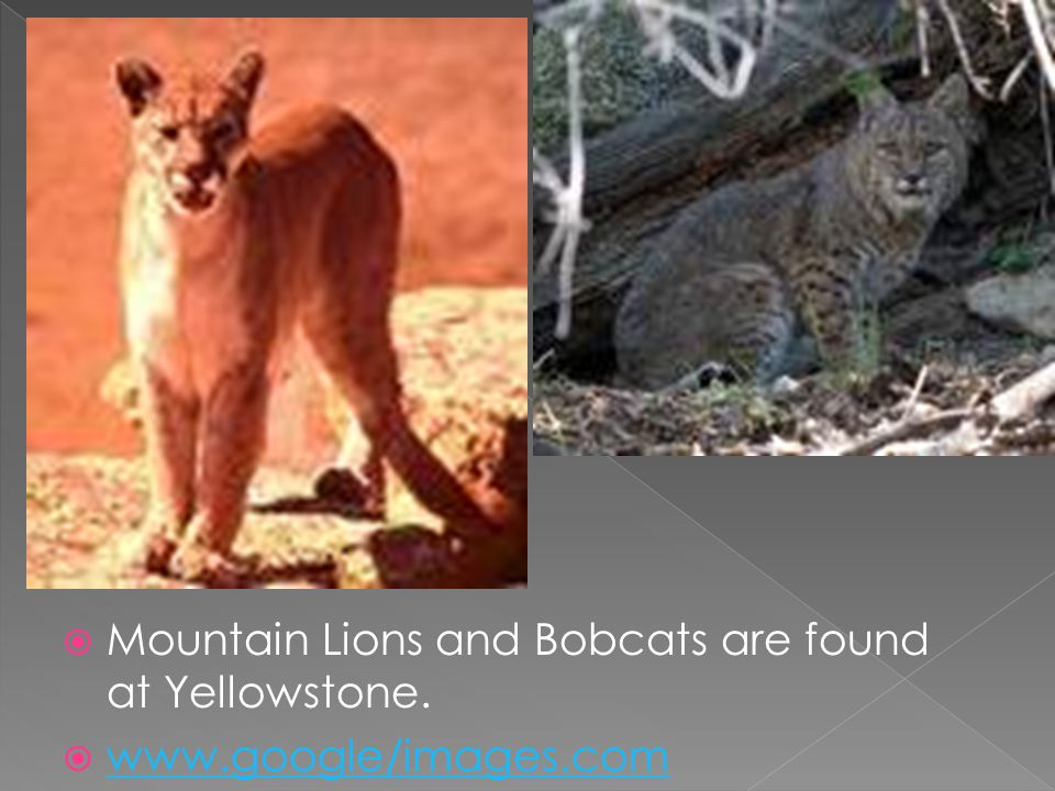 Mountain Lions and Bobcats are found at Yellowstone.