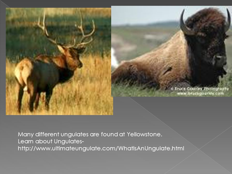 Many different ungulates are found at Yellowstone.