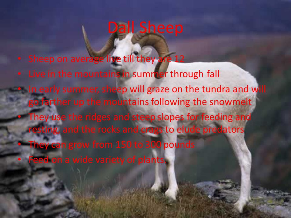 Dall Sheep Sheep on average live till they are 12
