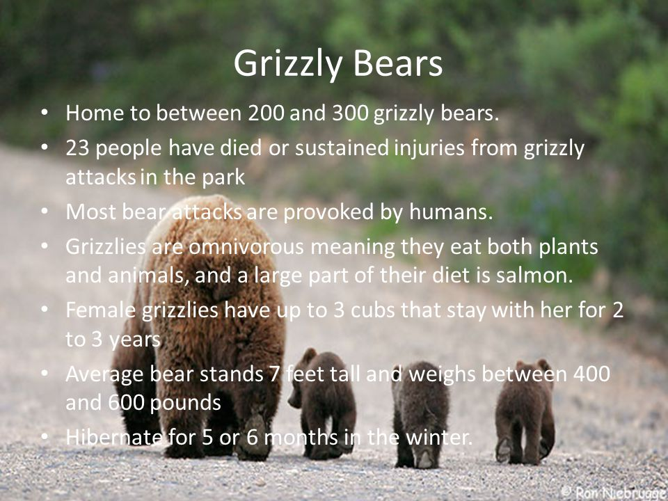 Grizzly Bears Home to between 200 and 300 grizzly bears.