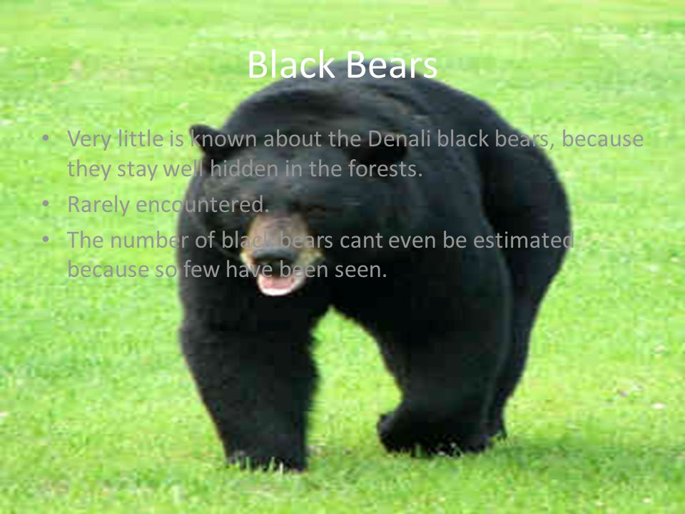 Black Bears Very little is known about the Denali black bears, because they stay well hidden in the forests.