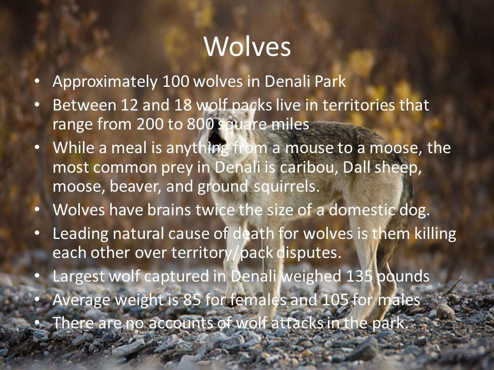 Wolves Approximately 100 wolves in Denali Park