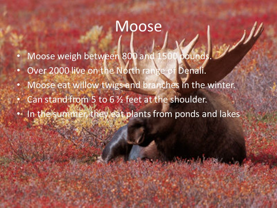 Moose Moose weigh between 800 and 1500 pounds.
