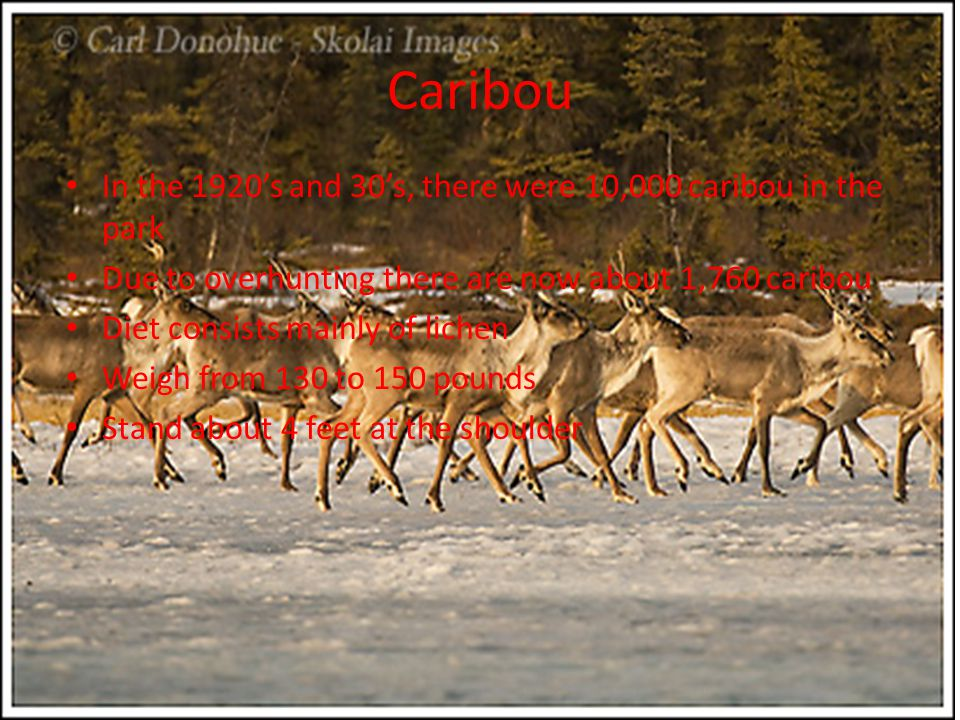 Caribou In the 1920's and 30's, there were 10,000 caribou in the park