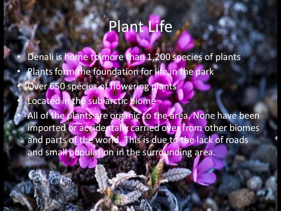 Plant Life Denali is home to more than 1,200 species of plants