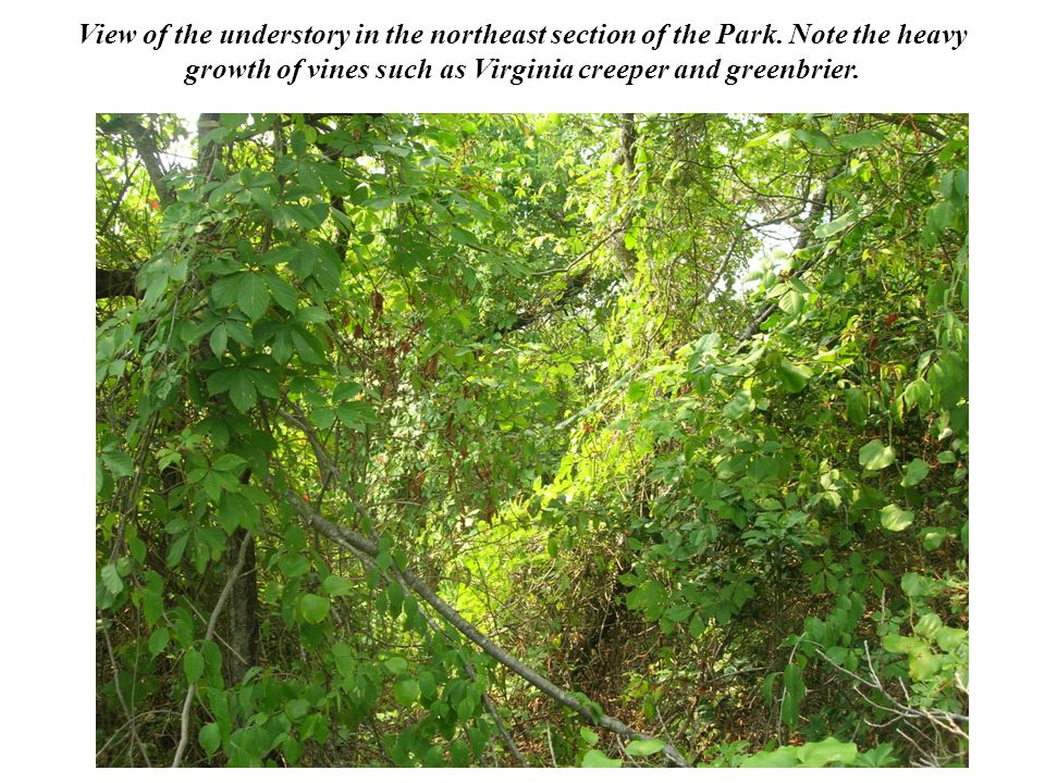 View of the understory in the northeast section of the Park