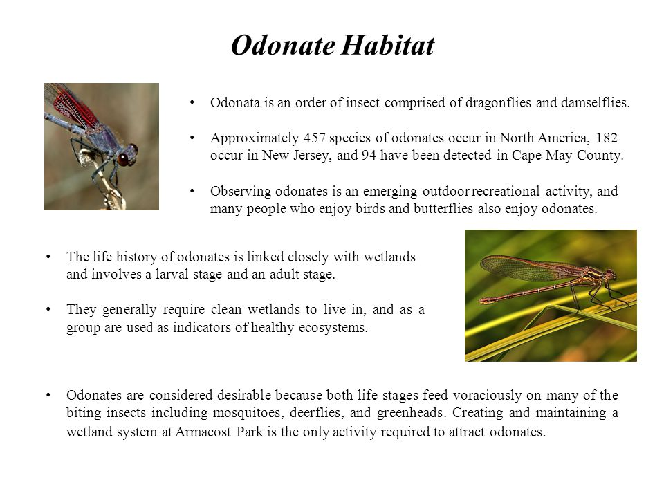 Odonate Habitat Odonata is an order of insect comprised of dragonflies and damselflies.
