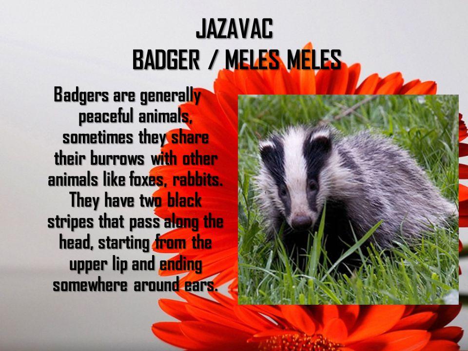 JAZAVAC BADGER / MELES MELES