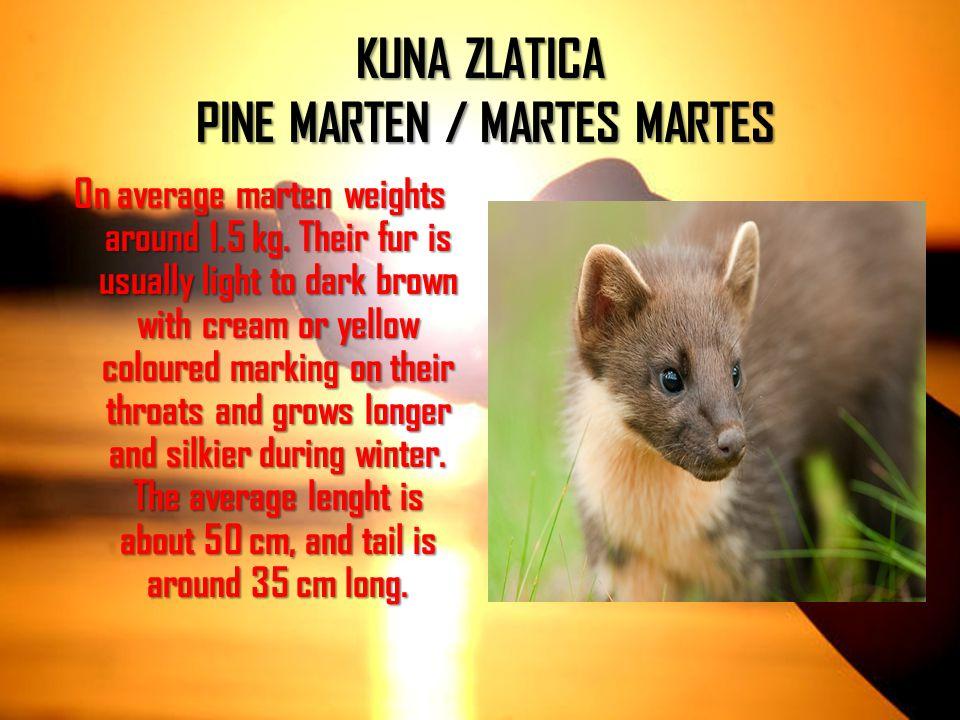 KUNA ZLATICA PINE MARTEN / MARTES MARTES
