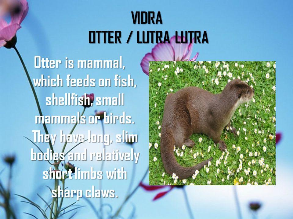 VIDRA OTTER / LUTRA LUTRA