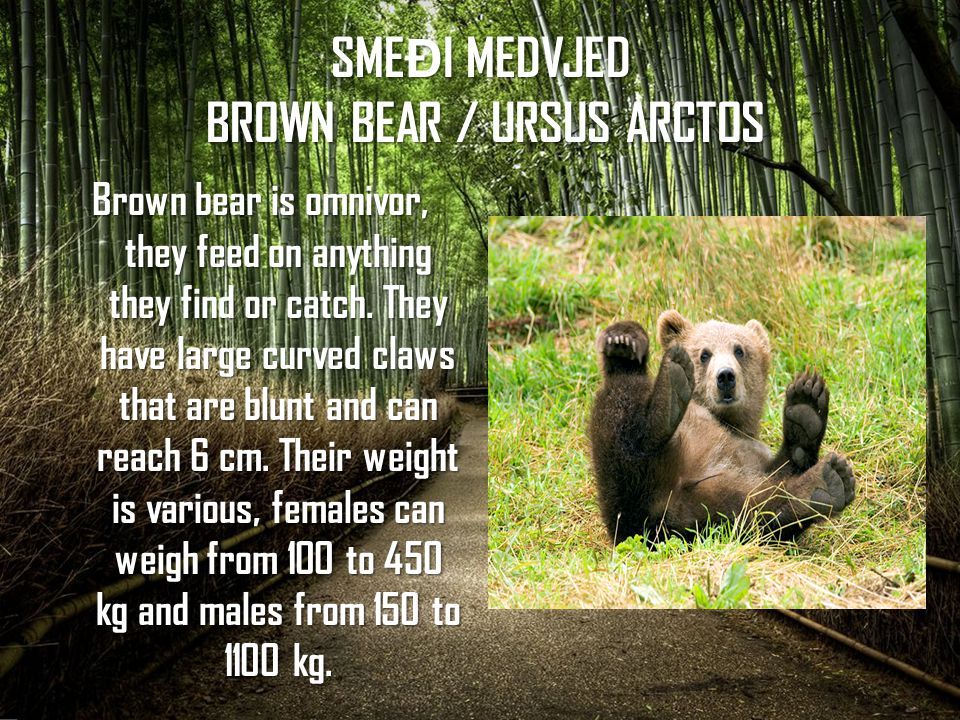 SMEĐI MEDVJED BROWN BEAR / URSUS ARCTOS