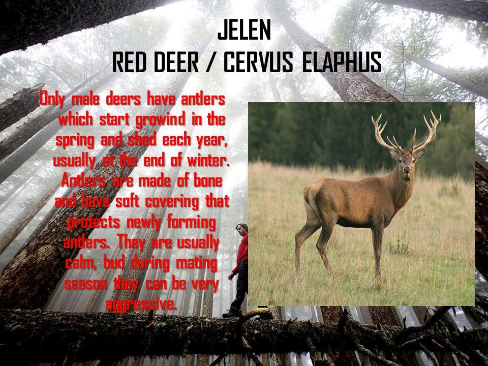 JELEN RED DEER / CERVUS ELAPHUS