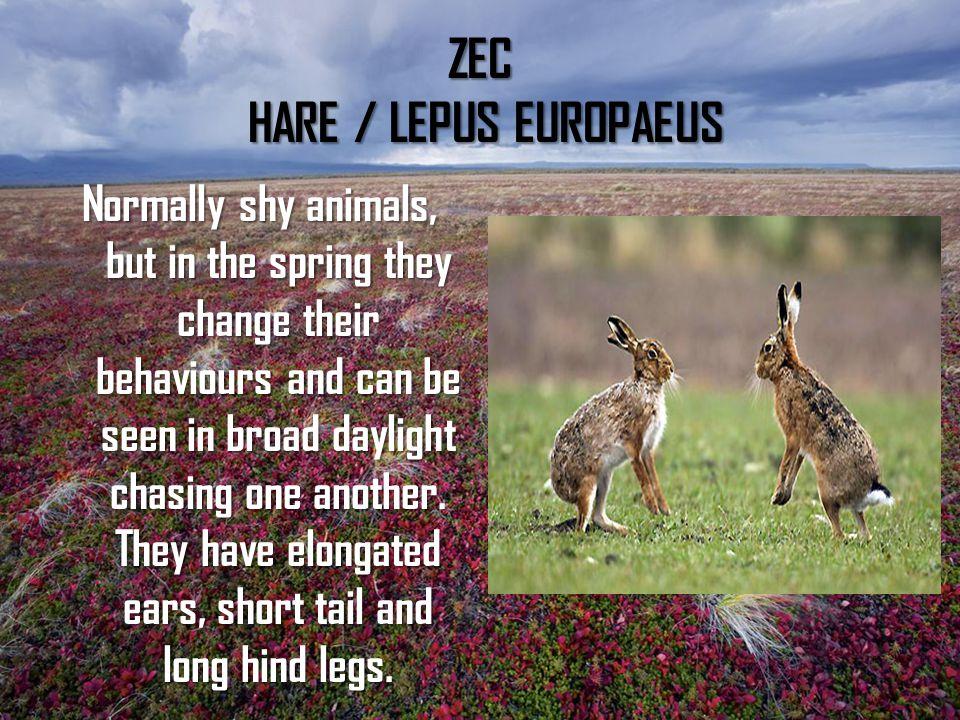 ZEC HARE / LEPUS EUROPAEUS