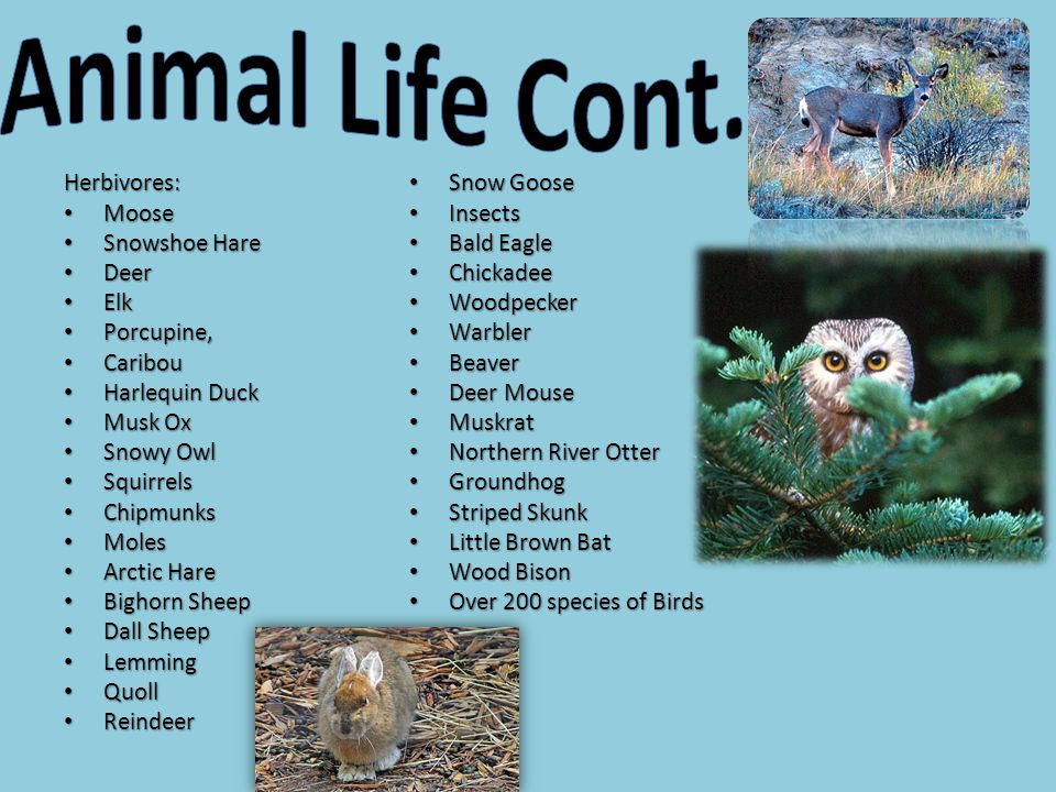 Animal Life Cont. Herbivores: Snow Goose Moose Insects Snowshoe Hare