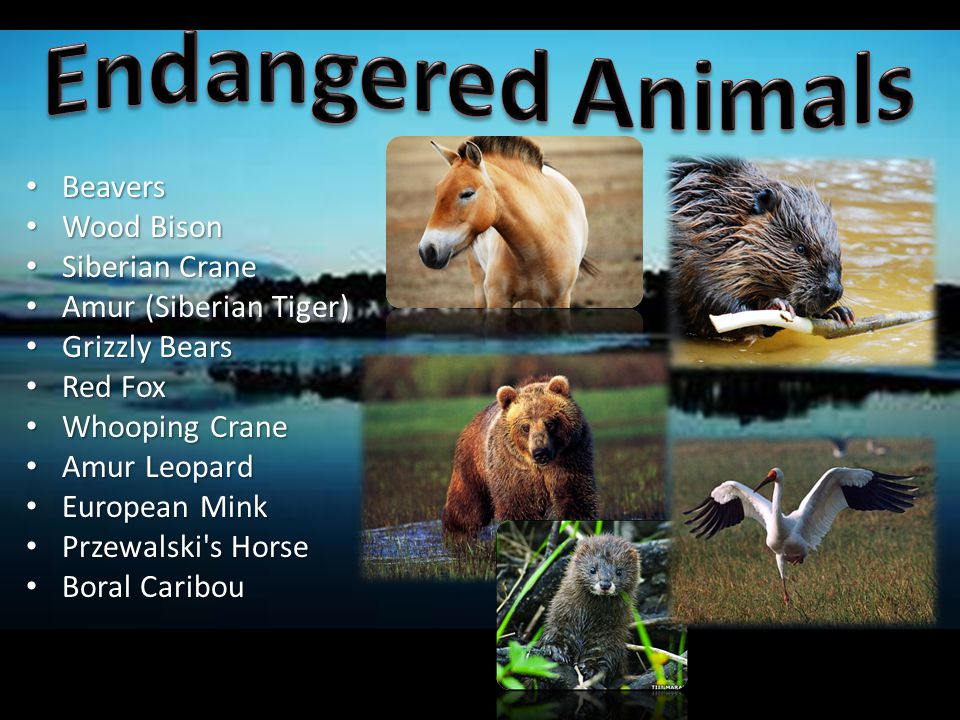 Endangered Animals Beavers Wood Bison Siberian Crane