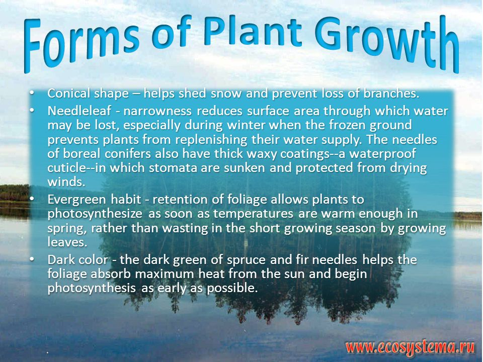Forms of Plant Growth Conical shape – helps shed snow and prevent loss of branches.