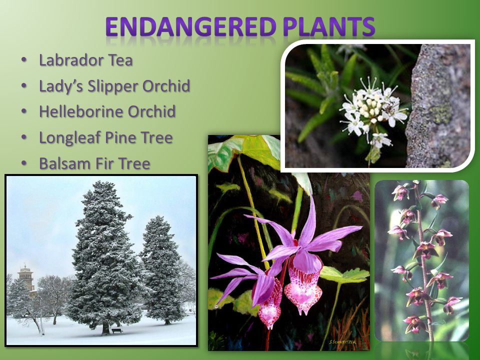 Endangered Plants Labrador Tea Lady's Slipper Orchid