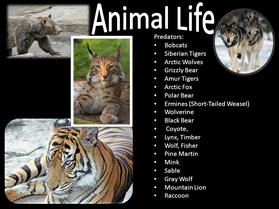 Animal Life Predators: Bobcats Siberian Tigers Arctic Wolves