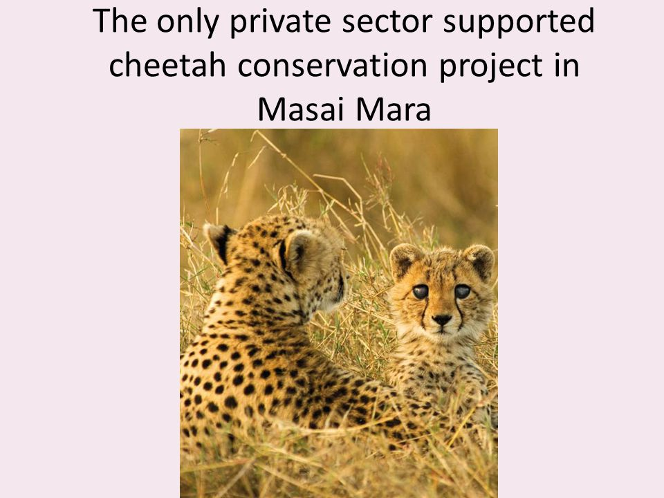 The only private sector supported cheetah conservation project in Masai Mara