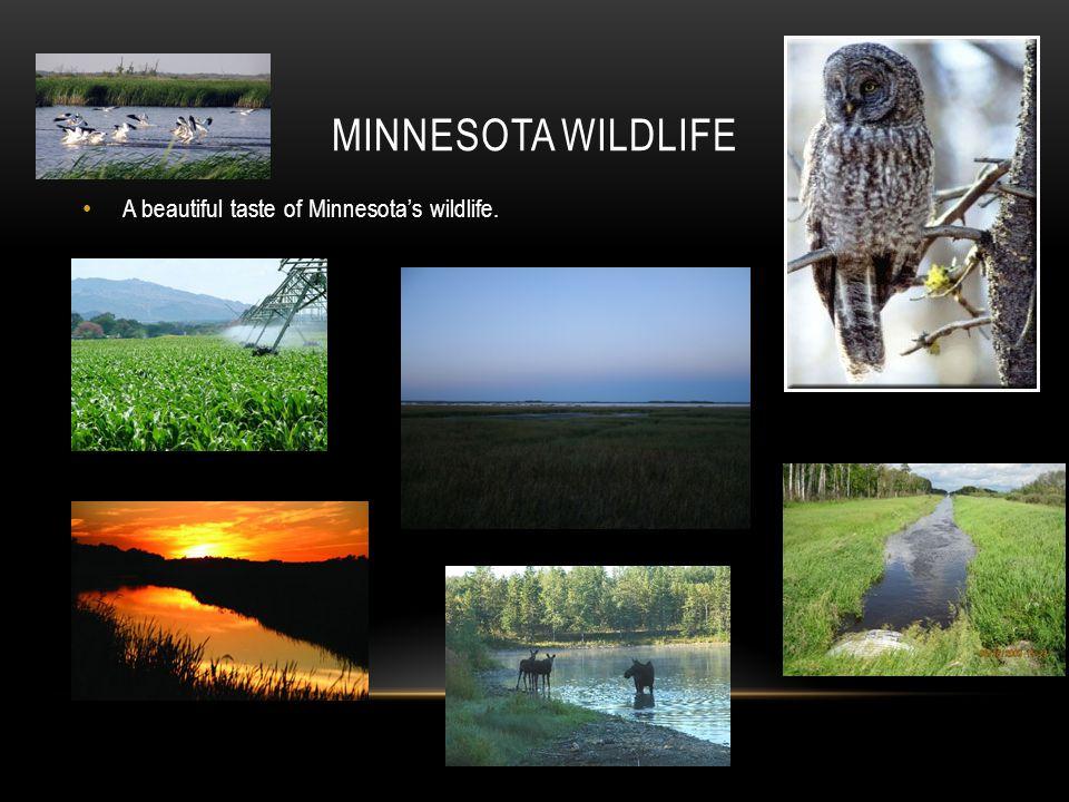 Minnesota Wildlife A beautiful taste of Minnesota's wildlife.