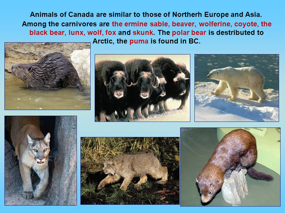 Animals of Canada are similar to those of Northerh Europe and Asia