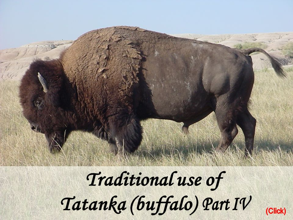 Traditional use of Tatanka (buffalo) Part IV (Click)