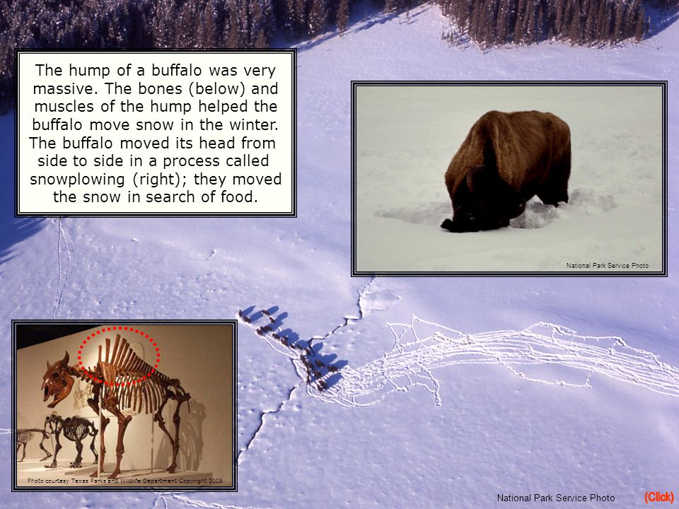 (Click) The hump of a buffalo was very massive. The bones (below) and