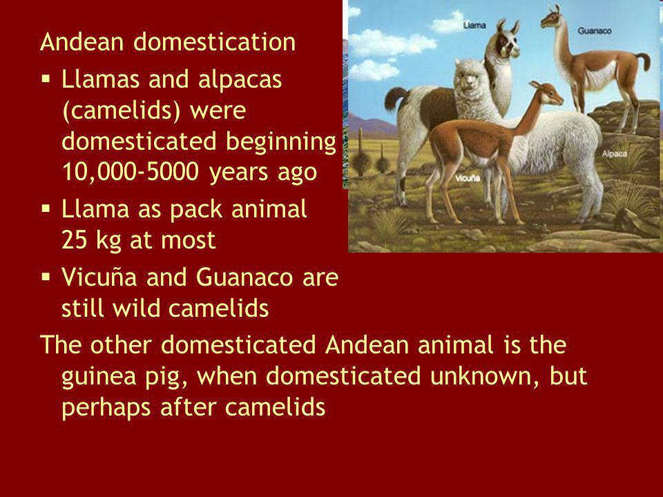 Andean domestication Llamas and alpacas (camelids) were domesticated beginning 10,000-5000 years ago.