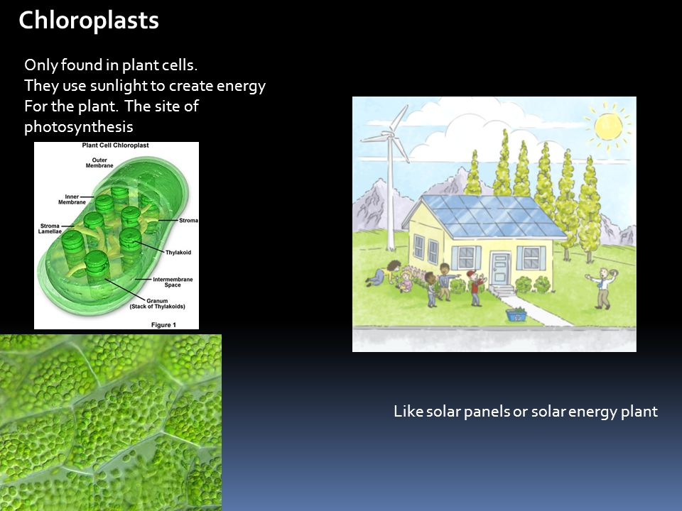 Chloroplasts Only found in plant cells.