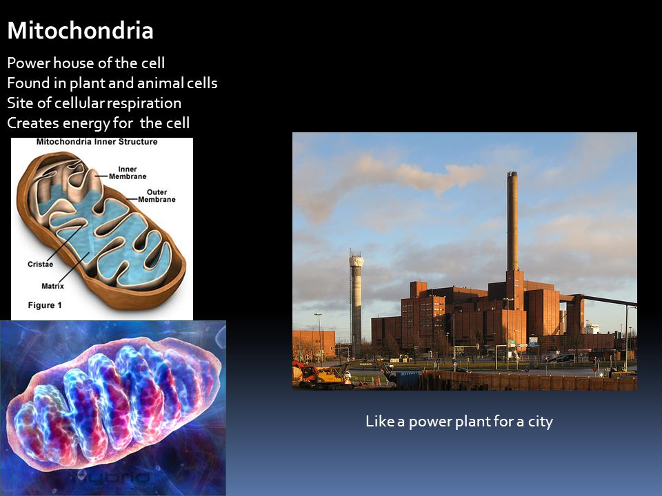 Mitochondria Power house of the cell Found in plant and animal cells