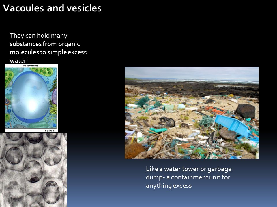 Vacoules and vesicles They can hold many substances from organic molecules to simple excess water.