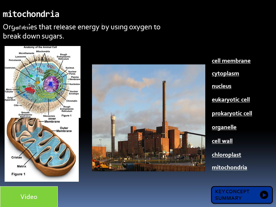 organelle release oxygen Let us take a second to look at each individual cell organelle in turn  the  mitochondrian converts glucose and oxygen to carbon dioxide, water, and atp   atoms in acetyl coa into co2, which is released from the cell as a waste  product.