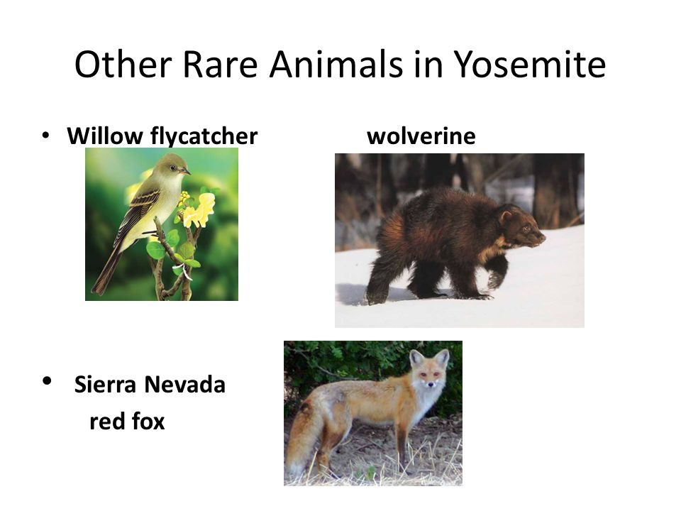 Other Rare Animals in Yosemite