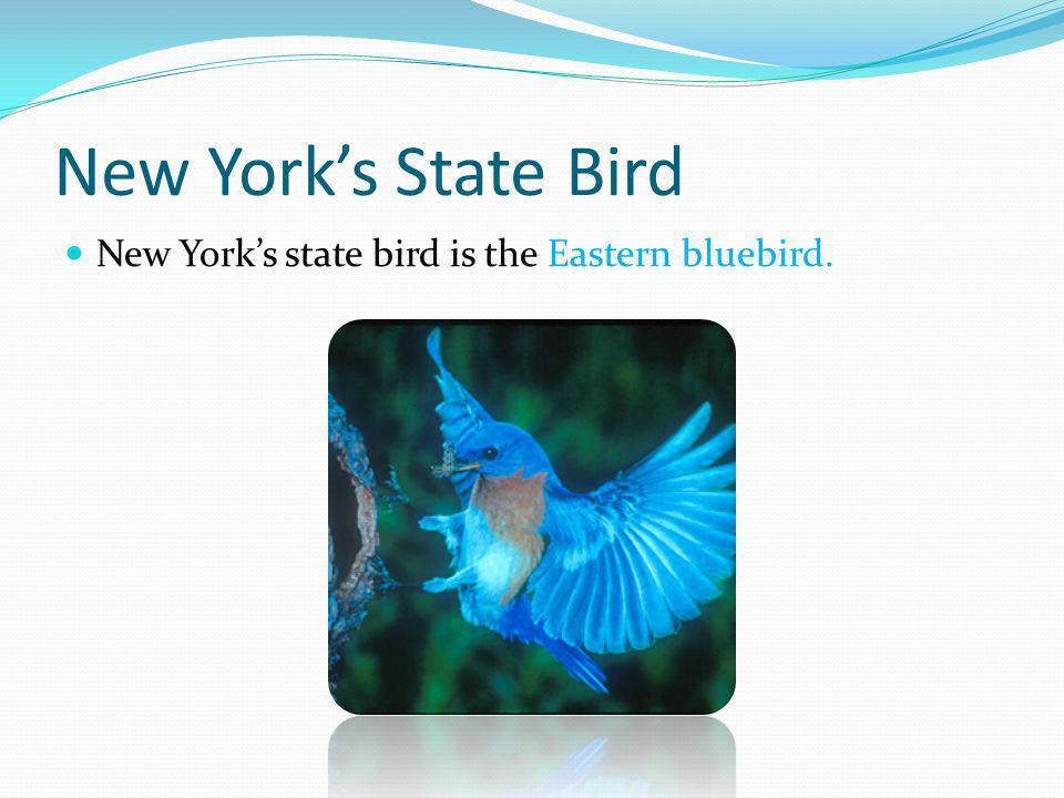 New York's State Bird New York's state bird is the Eastern bluebird.