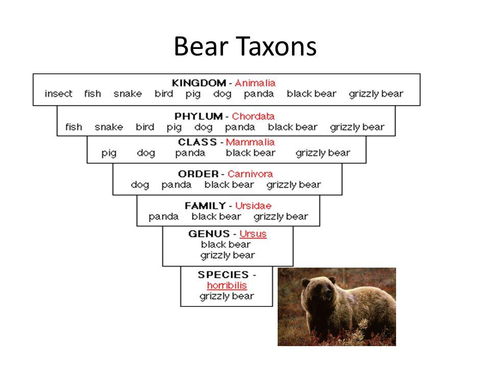 Bear Taxons