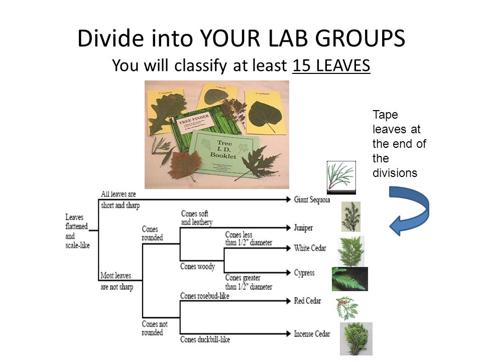 Divide into YOUR LAB GROUPS You will classify at least 15 LEAVES