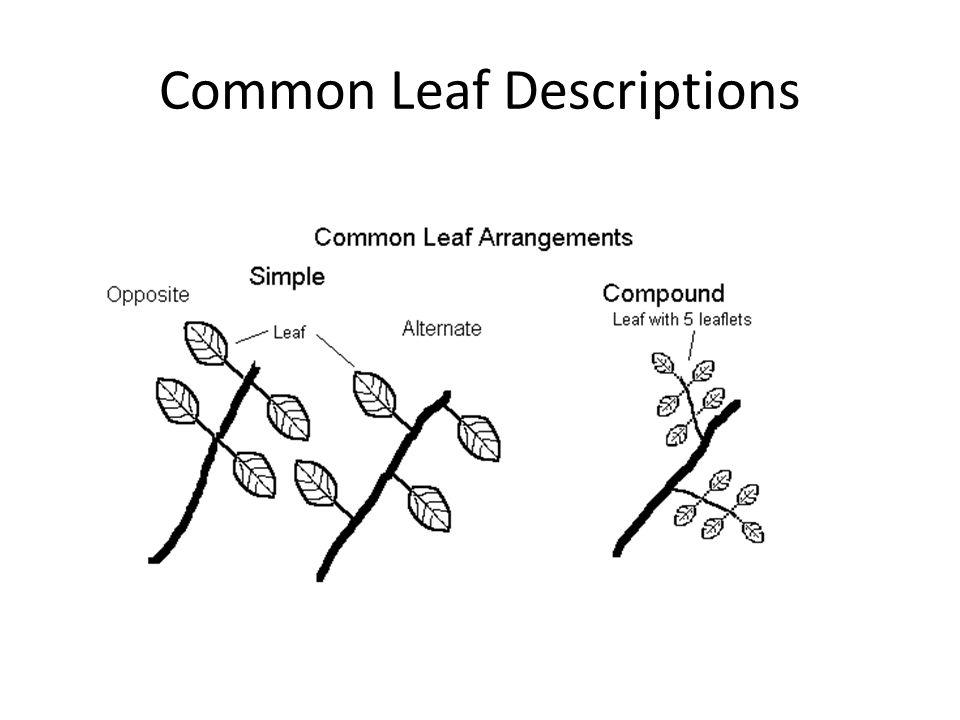 Common Leaf Descriptions