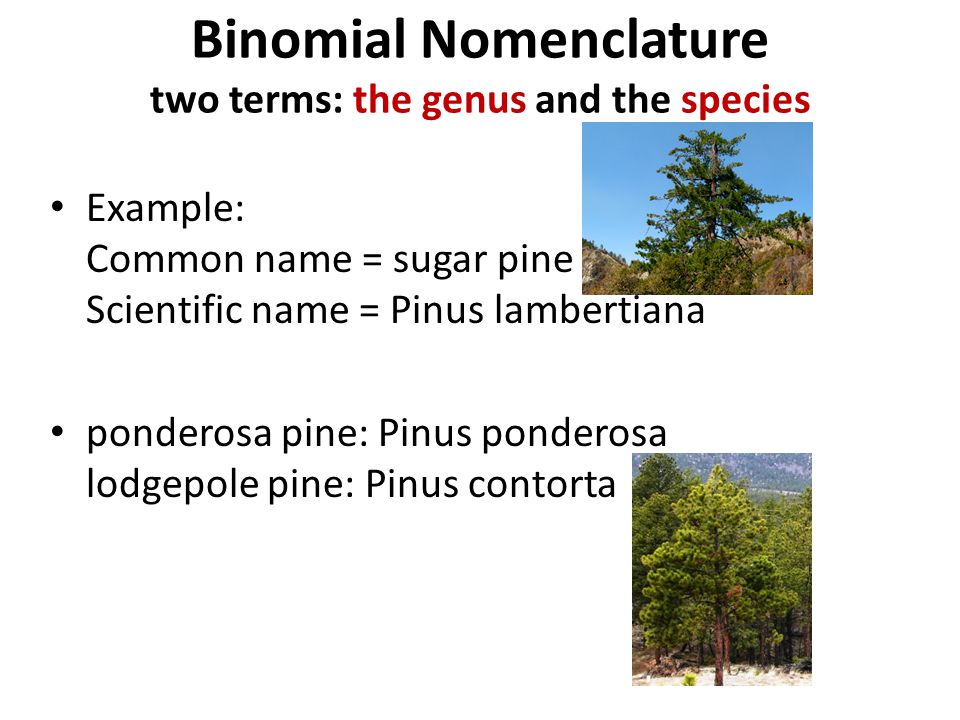 Binomial Nomenclature two terms: the genus and the species
