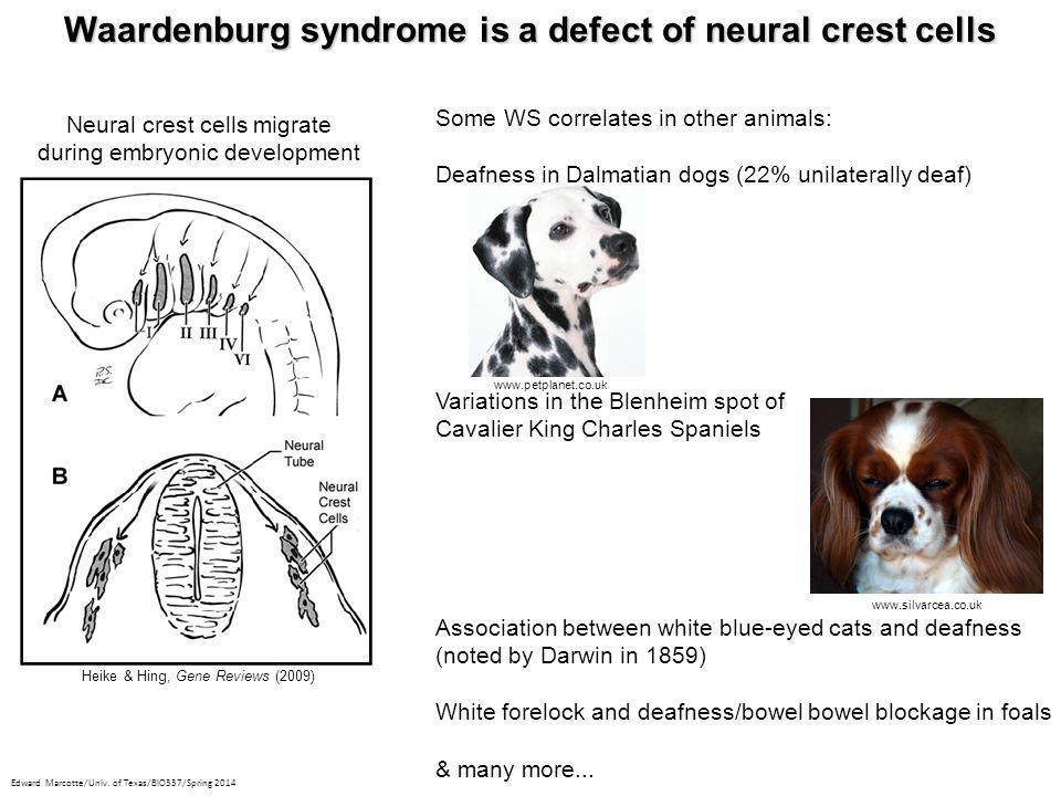 Waardenburg syndrome is a defect of neural crest cells