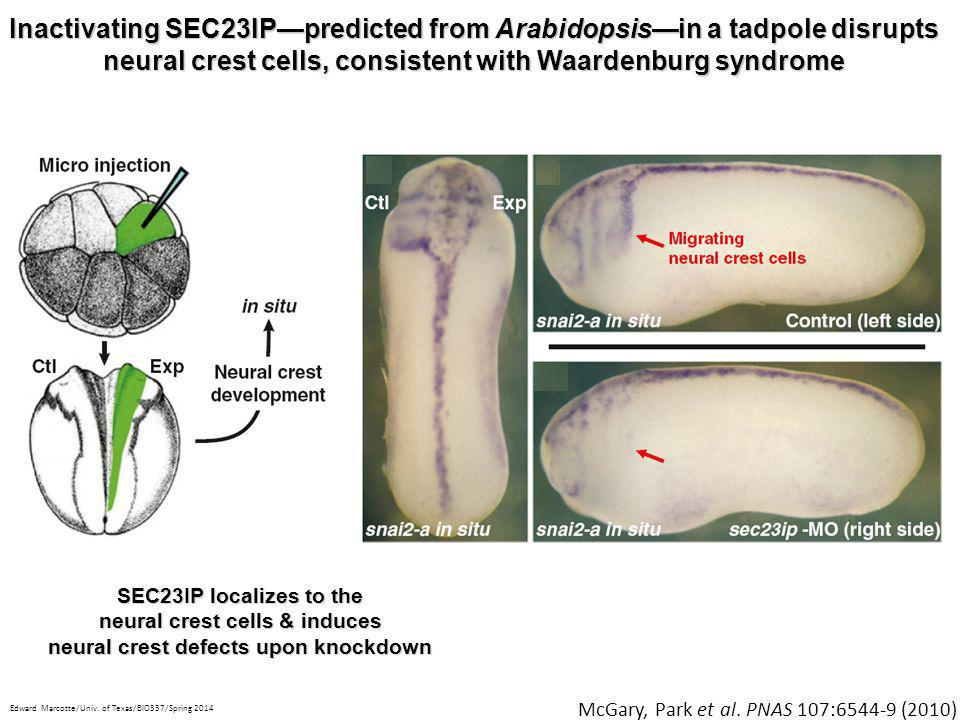 neural crest cells & induces neural crest defects upon knockdown