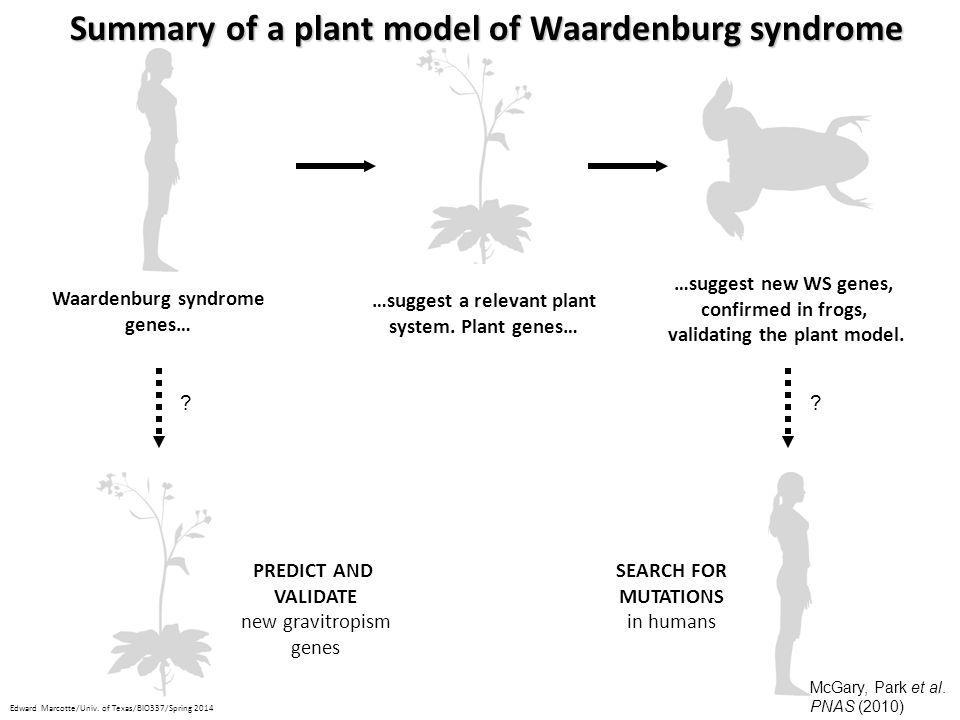 Summary of a plant model of Waardenburg syndrome