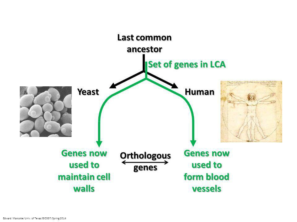 Last common ancestor Set of genes in LCA Yeast Human Genes now used to
