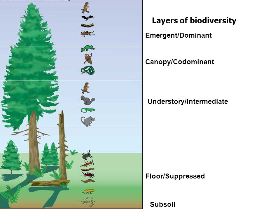 Layers of biodiversity Understory/Intermediate