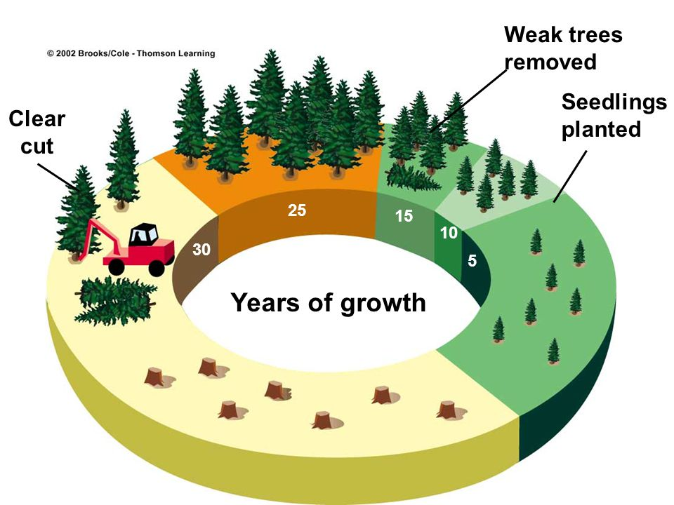 Years of growth Weak trees removed Seedlings planted Clear cut 25 15